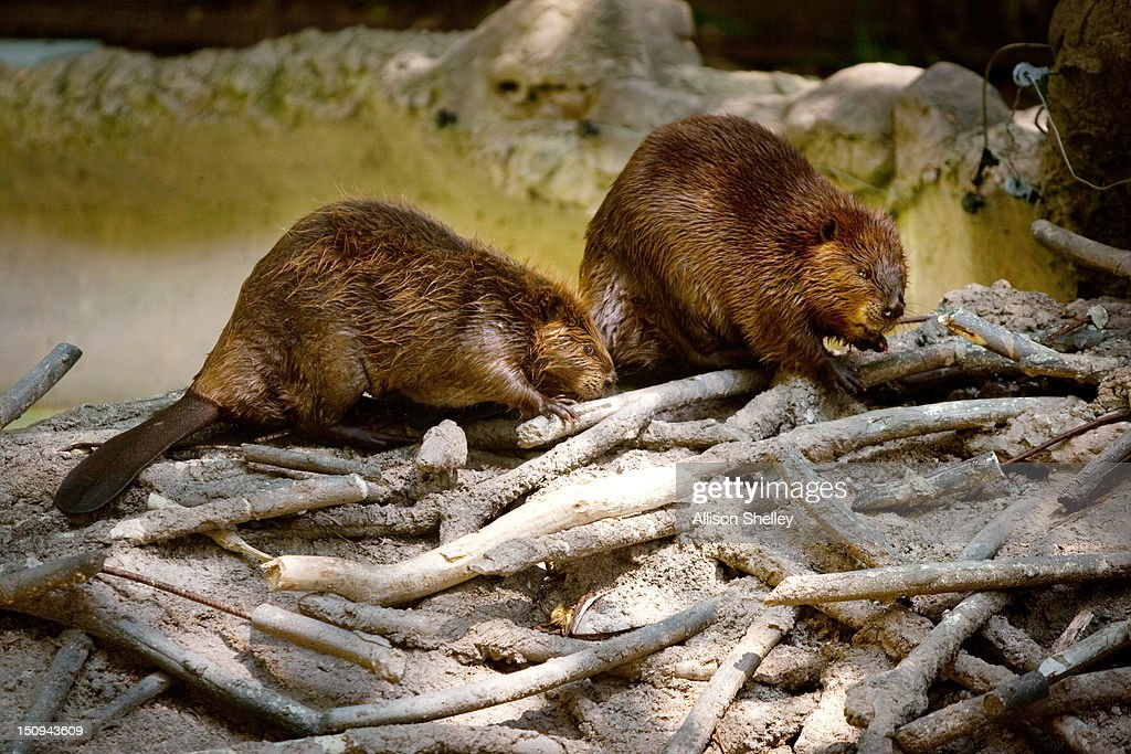 Two North American beavers check out a manmade beaver dam in the new beaver enclosure during a sneak peak of the new American Trail at the...