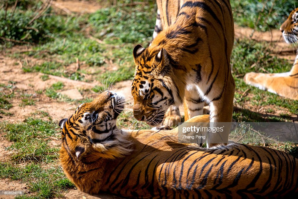 Two Northeast Tigers play on the grass In Yunnan Zoo visitors can walk through a glass tunnel to get very close with these big cats
