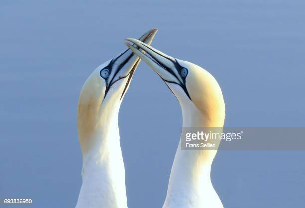 Two Northern Gannets touching beaks to greet each other, Heligoland, Germany