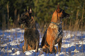 Two obedient Belgian Shepherd Malinois dogs sitting together on a snow and looking in different directions in winter