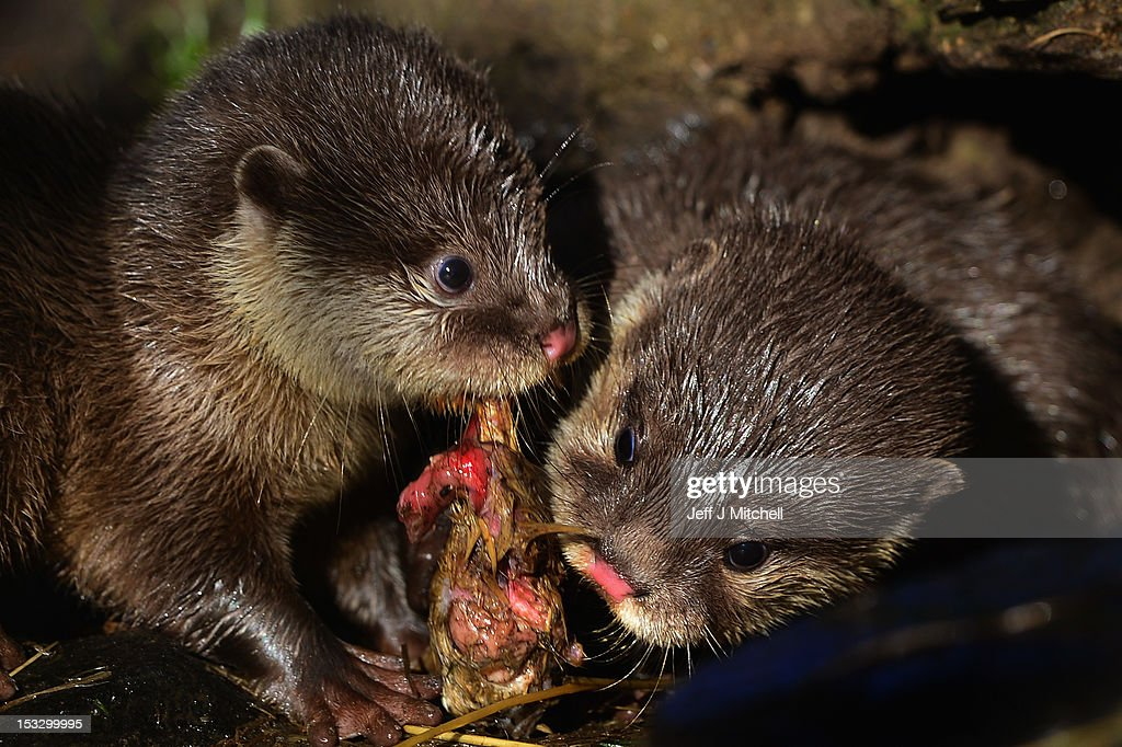 Two of Edinburgh Zoo's short clawed otter pups tackle some food in the enclosure on October 3, 2012 in Edinburgh,Scotland. The five otters are from the smallest otter species in the world and the pups born to mum Elena and Dad Ray are around 10 weeks old now, and are their third litter since arriving at the zoo. A native to Southeast Asia, this particular otter will weigh just 3.5kg when fully grown. These water loving animals are known for their extremely agile, hand-like front paws that are complete with short claws giving these otters their name. Using these dexterous paws they can easily tackle a variety of prey, including crabs, snails, molluscs, small fish and insects. Like other otter species they use their strong rudder-like tail to navigate and propel them through the water.