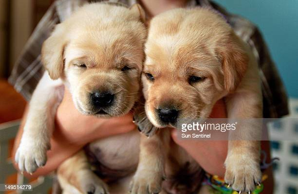 Two of eight puppies fathered by Nina and Edgar Otto's cloned dog Sir Lancelot Encore is seen at the West Palm Beach home of the breeder July 24 2012...