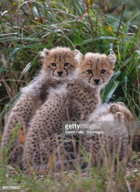 Two of four as yet unnamed Southern Cheetah cubs in their enclosure as they make their public debut at Port Lympne Wild Animal Park near Ashford Kent