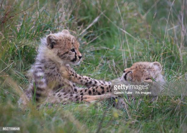 Two of four as yet unnamed Southern Cheetah cubs play in their enclosure as they make their public debut at Port Lympne Wild Animal Park near Ashford...