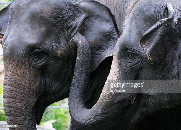 Two of four Asian elephants interact as they explore their new enclosure at Taronga Zoo November 3 2006 in Sydney Australia The elephants are part of...
