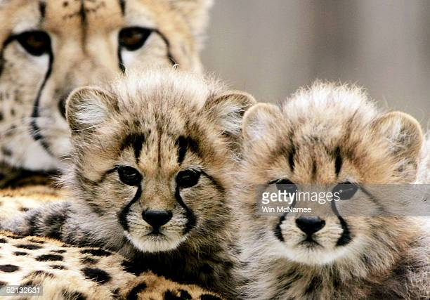 Two of four new cheetah cubs born November 23 lean against their mother Tumai during a preview showing at the National Zoo February 4 2005 in...