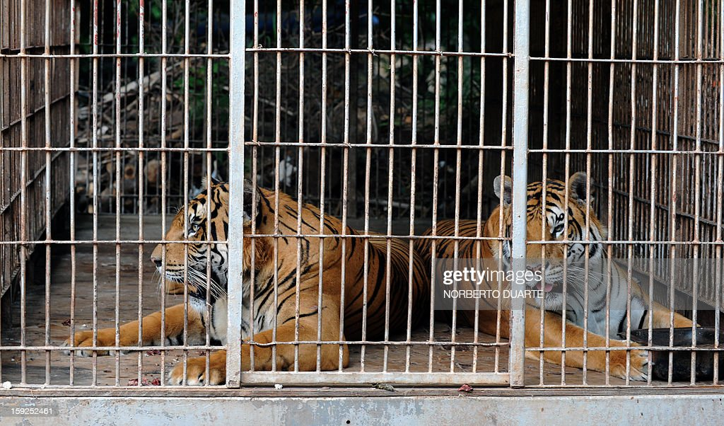 Two, of nine, Bengala tigers remain in a cage in a zoo in Asuncion on January 10, 2013. A Paraguayan environmental district attorney ordered the seizure of the nine Bengala tigers and seven African lions from an Argentine circus, which had been taken to the zoo on August 2012, as they had no sanitary visa to legally enter the country. AFP PHOTO/Norberto Duarte