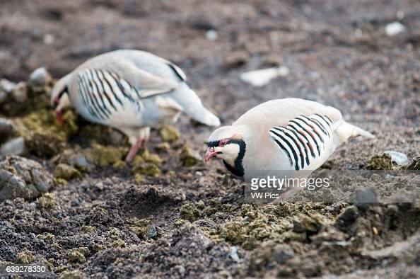 Two of several chukars in Summit of Puu Ulaula Maui Hawaii Summit of Puu Ulaula with departing several trekings foot or horseback to descend 900...