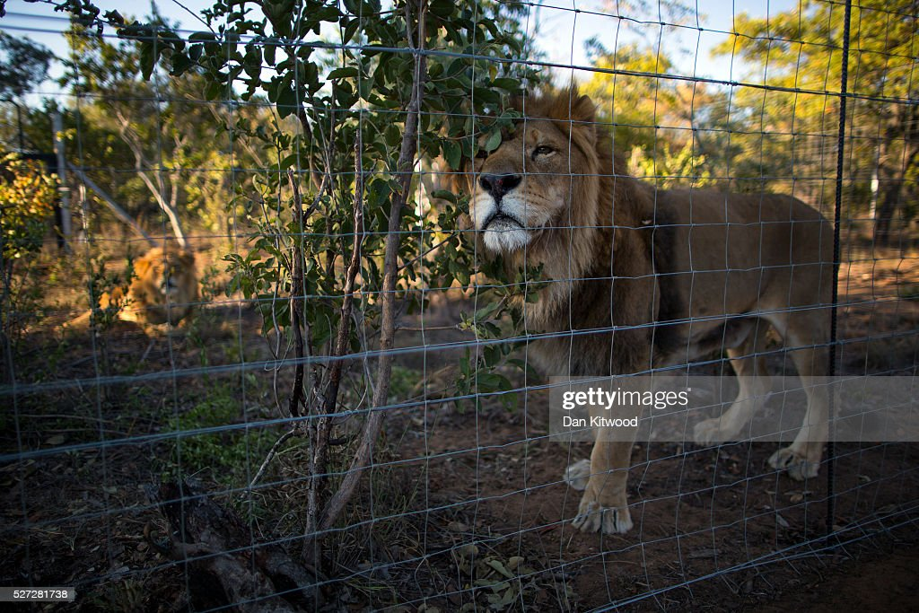 Two of the 33 Lions enjoys his new enclosure at the Emoya 'Big Cat Sanctuary' on May 02, 2016 in Vaalwater, South Africa. A total of 33 former circus Lions, 22 males and 11 females from Peru and Columbia were airlifted to South Africa on April 30, before being released yesterday to live out their lives on the private reserve in the Limpopo Province. 24 of the animals were rescued in raids on circuses operating in Peru, with the rest voluntarily surrendered by a circus in Colombia after Colombias Congress passed a bill prohibiting circuses from using wild animals. The trip has been coordinated by the animal rights group 'Animal Defenders International. The animals have been released into small open areas with natural vegetation, something that many of the animals have never experienced before.