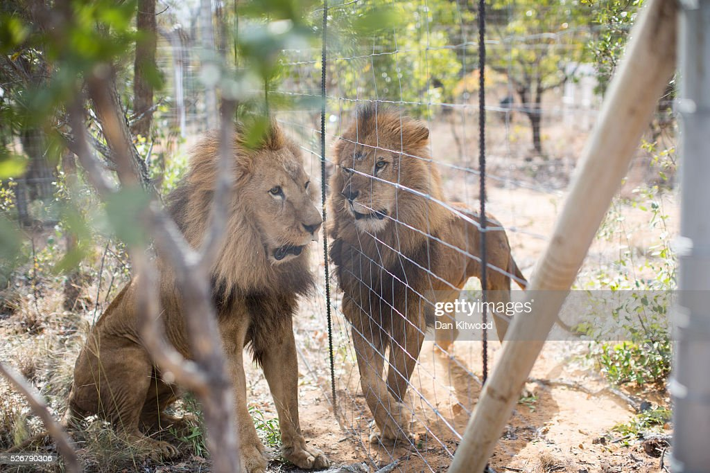 Two of the 33 Lions enjoys their new enclosure at the Emoya Big Cat Sanctuary', on May 01, 2016 in Vaalwater, South Africa. A total of 33 former circus Lions, 22 males and 11 females from Peru and Columbia were airlifted to South Africa yesterday, before being released today to live out their lives on the private reserve in the Limpopo Province. 24 of the animals were rescued in raids on circuses operating in Peru, with the rest voluntarily surrendered by a circus in Colombia after Colombias Congress passed a bill prohibiting circuses from using wild animals. The trip has been coordinated by the animal rights group 'Animal Defenders International. The animals have been released into small open areas with natural vegetation, something that many of the animals have never experienced before.