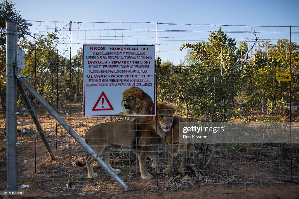 Two of the 33 Lions enjoys their new enclosure at the Emoya 'Big Cat Sanctuary' on May 02, 2016 in Vaalwater, South Africa. A total of 33 former circus Lions, 22 males and 11 females from Peru and Columbia were airlifted to South Africa on April 30, before being released yesterday to live out their lives on the private reserve in the Limpopo Province. 24 of the animals were rescued in raids on circuses operating in Peru, with the rest voluntarily surrendered by a circus in Colombia after Colombias Congress passed a bill prohibiting circuses from using wild animals. The trip has been coordinated by the animal rights group 'Animal Defenders International. The animals have been released into small open areas with natural vegetation, something that many of the animals have never experienced before.