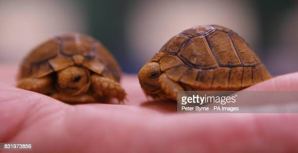 Two of the baby Egyptian Tortoises born earlier this week at Chester Zoo