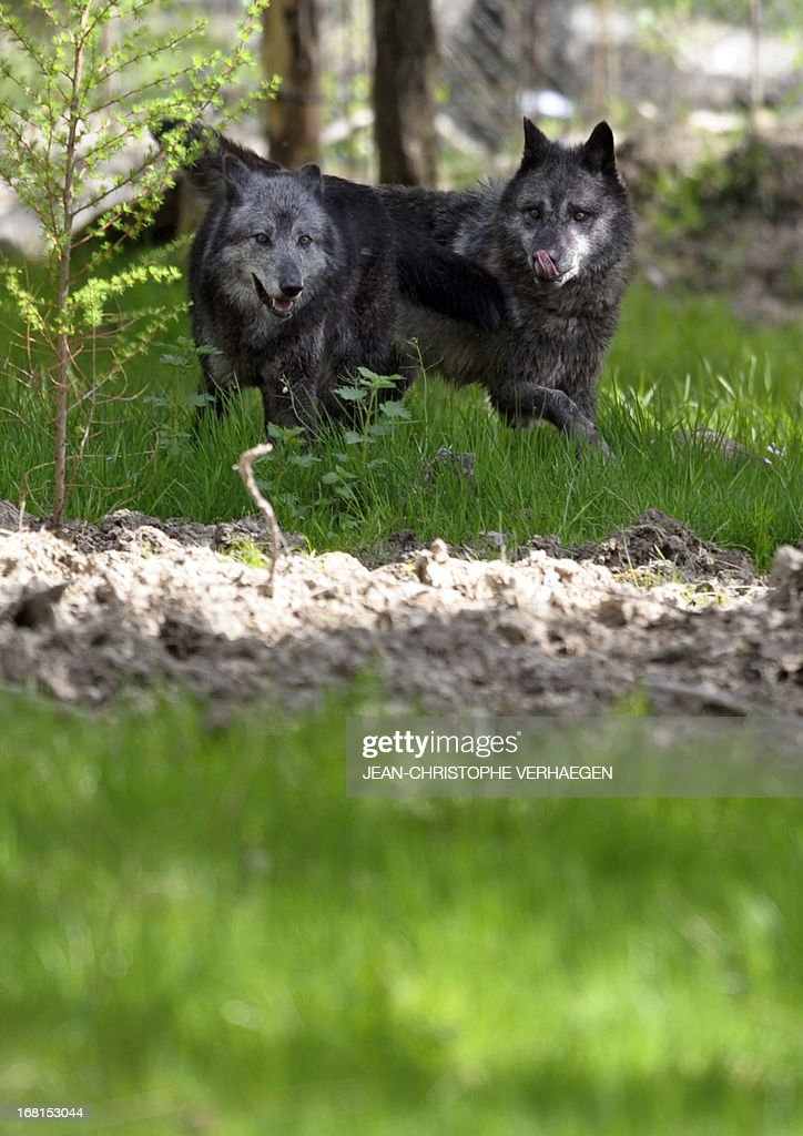 Two of the six Canadian timber wolves (Canis lupus occidentalis), aka Mackenzie Valley wolves, are pictured in the animal park of Sainte-Croix, on May 6, 2013, in Rhodes, eastern France. Timber wolves are installed in a park of 12,000 square meters flanked by a park of artic wolves and a park of grey wolves. VERHAEGEN