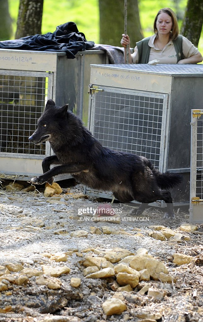 Two of the six Canadian timber wolves (Canis lupus occidentalis), aka Mackenzie Valley wolves, runs out of its cage in the animal park of Sainte-Croix, on May 6, 2013, in Rhodes, eastern France. Timber wolves are installed in a park of 12,000 square meters flanked by a park of artic wolves and a park of grey wolves. VERHAEGEN