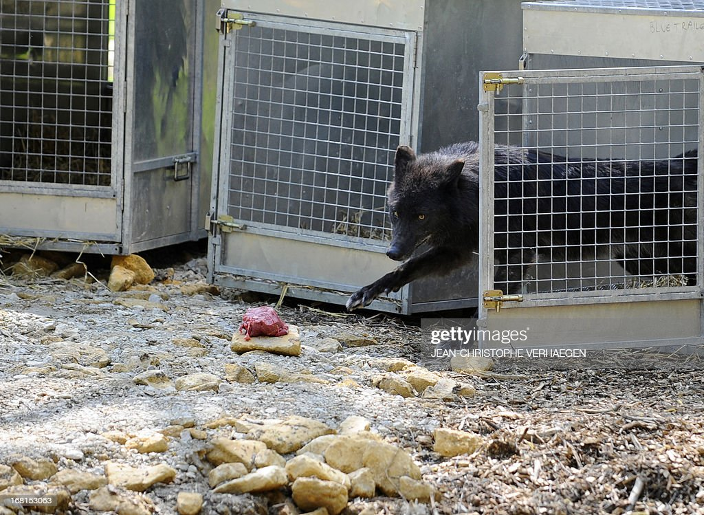 Two of the six Canadian timber wolves (Canis lupus occidentalis), aka Mackenzie Valley wolves, runs out of its cage to eat a piece of meat in the animal park of Sainte-Croix, on May 6, 2013, in Rhodes, eastern France. Timber wolves are installed in a park of 12,000 square meters flanked by a park of artic wolves and a park of grey wolves. VERHAEGEN
