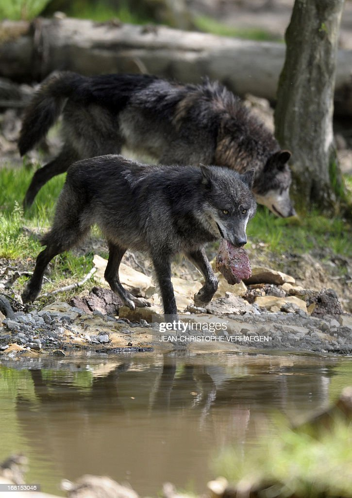 Two of the six Canadian timber wolves (Canis lupus occidentalis), aka Mackenzie Valley wolves, walk to a pond in the animal park of Sainte-Croix, on May 6, 2013, in Rhodes, eastern France. Timber wolves are installed in a park of 12,000 square meters flanked by a park of artic wolves and a park of grey wolves. VERHAEGEN