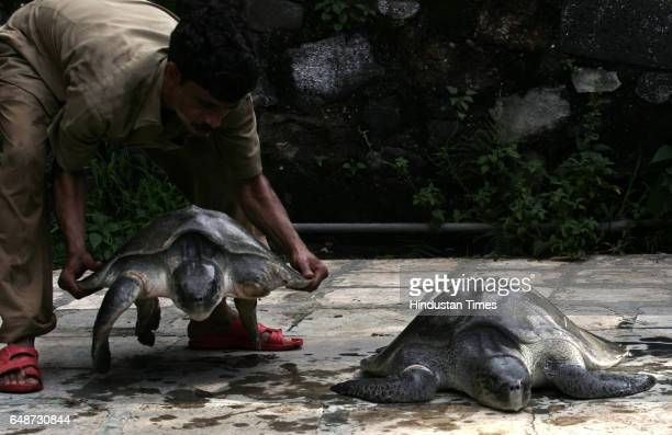 Two of the six Olive ridley Turtles found on mumbai's beachesnow being treated at SPCA at parel