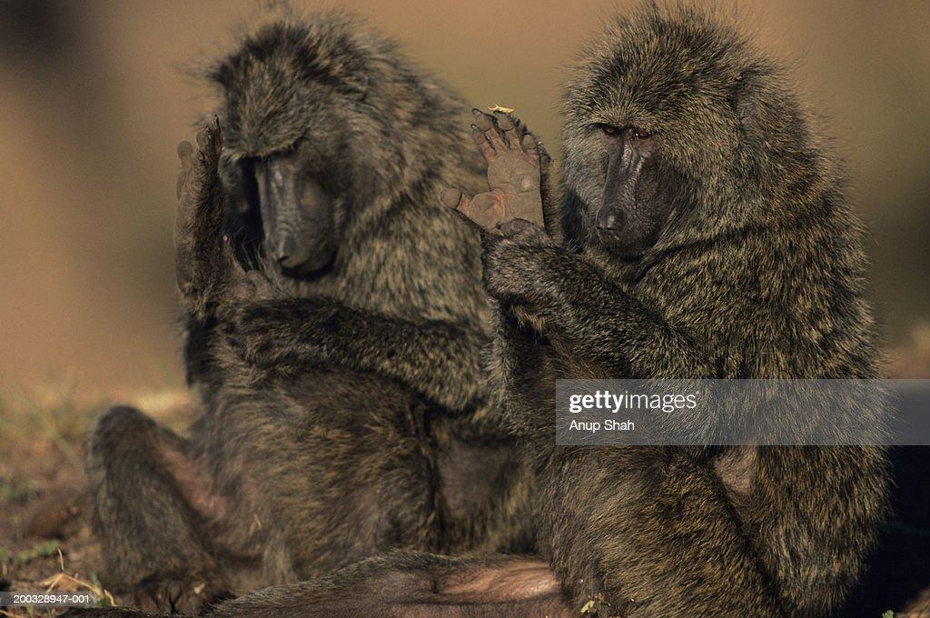 Two olive baboons (Papio anubis), grooming, Kenya : Stock Photo