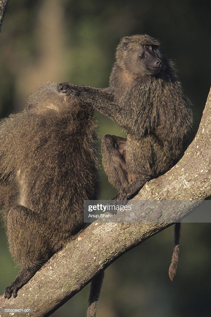 Two olive baboons (Papio anubis), sitting on branch, Kenya : Stock Photo