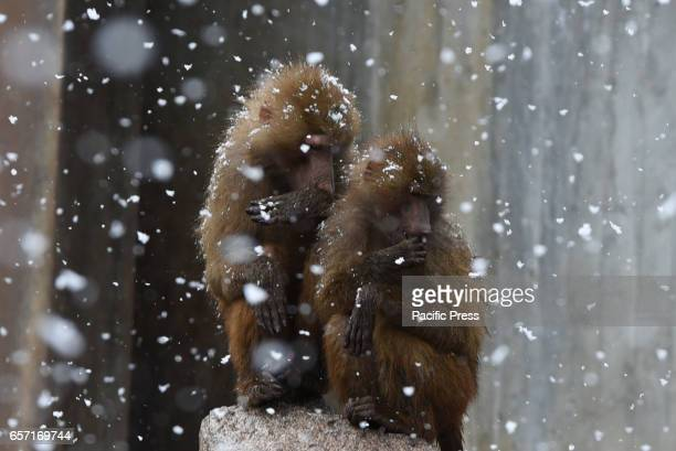Two Olive baboons stand in the snow in Madrid zoo