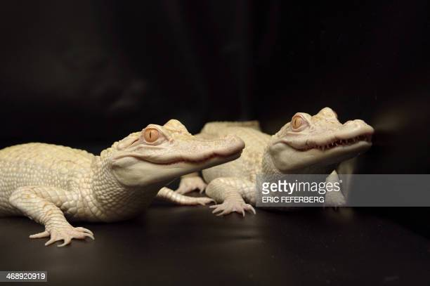 Two oneyearold albinos alligators are pictured at Paris' aquarium on February 12 2014 This animals are the result of a captive breeding program...