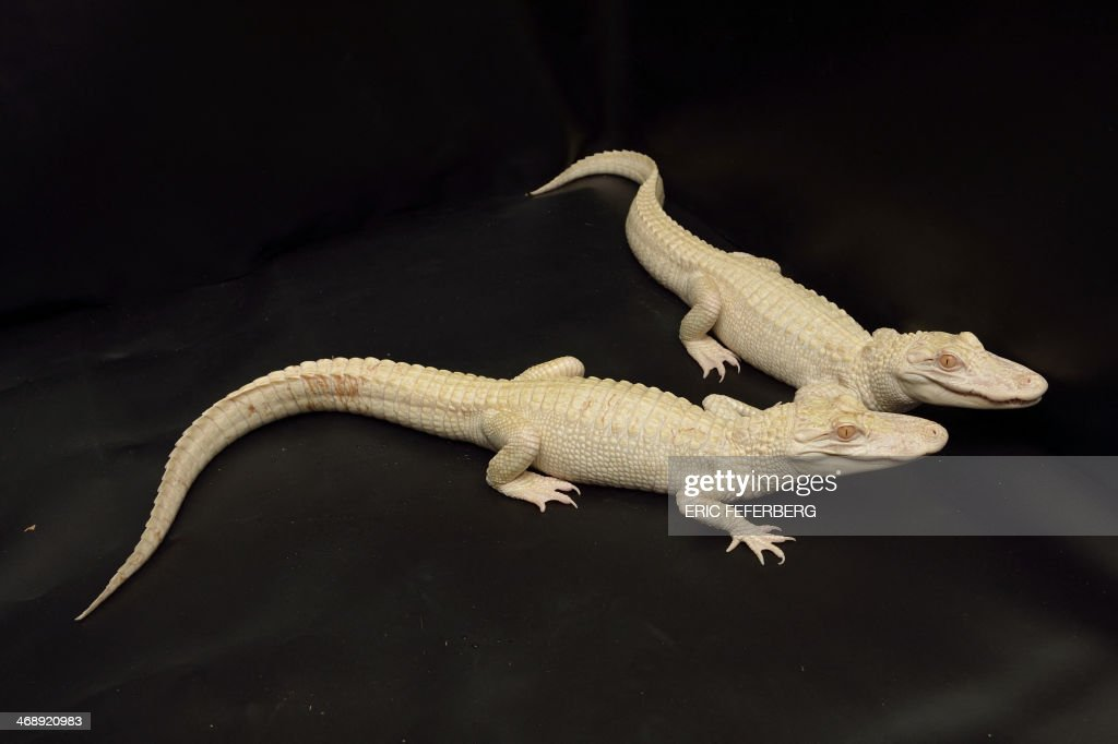 Two one-year-old albinos alligators recently are pictured at Paris' aquarium on February 12, 2014. This animals are the result of a captive breeding program aiming at protecting endangered species.