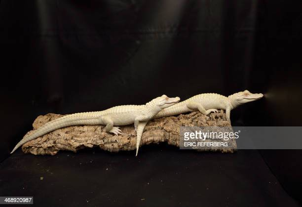 Two oneyearold albinos alligators recently are pictured at Paris' aquarium on February 12 2014 This animals are the result of a captive breeding...