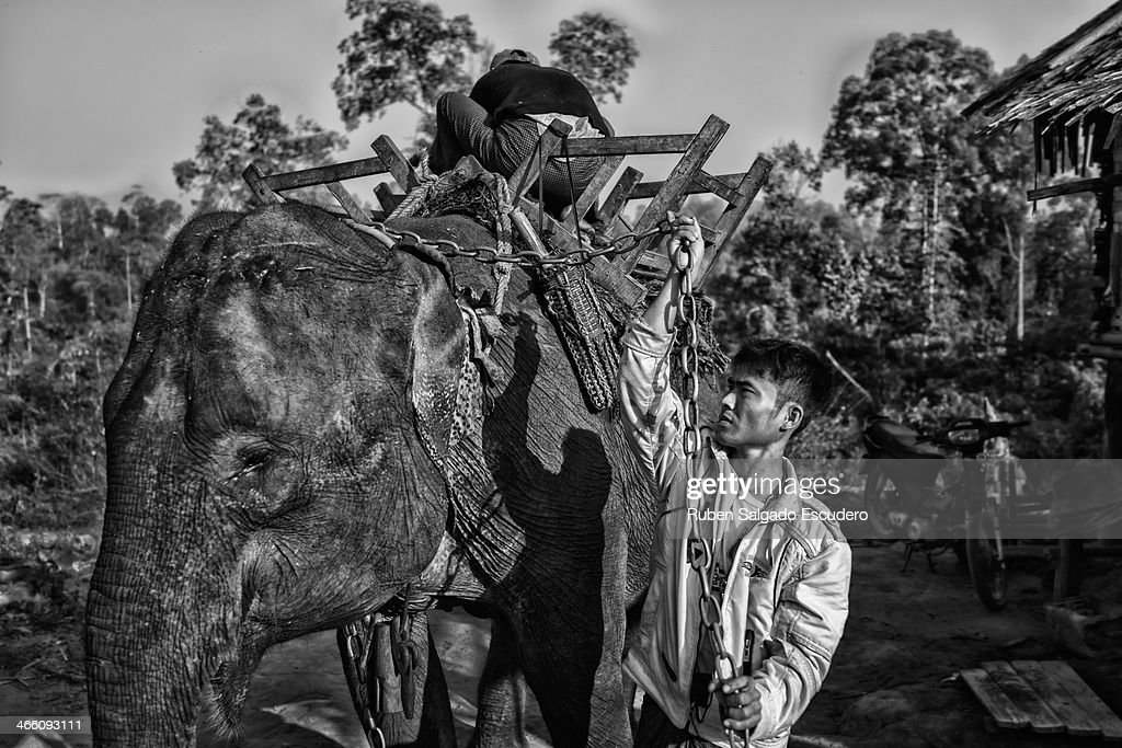 Two 'oozies' (elephant handler) prepare the harness on an elephant before logging begins on January 28, 2014 in Maing Hint Sal elephant logging camp, Myanmar. This government-owned camp holding 62 elephants and about 330 local villagers is one of many which are under threat due to upcoming changes in laws that reflect the steady depletion of forests in the country. The local government blames illegal loggers for this, while others are under the opinion that the government carelessly sold land for construction and development purposes to the wrong people. Either way, elephant logging which has been a source of income for many in this country for generations could have its days numbered which would affect many local people's livelihoods.