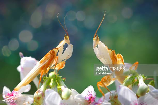 Two orchid mantis on orchid flowers, Indonesia