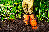 Two organic carrots being harvested from the soil