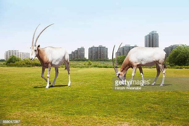 Two oryxes walking on the field