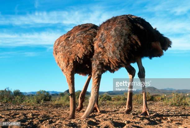 Two Ostriches with Heads in the Sand