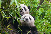 A giant panda bear couple in bamboo forest