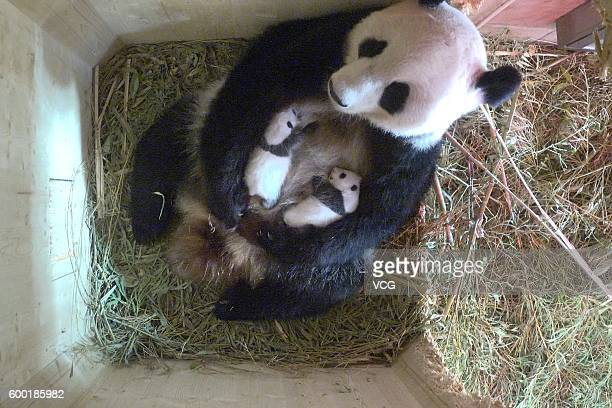 Two panda cubs are in their mother Yangyang's arms at Giant Panda Protection and Research Center on September 7 2016 in Chengdu Sichuan Province of...