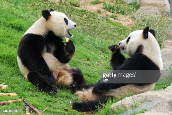 Two pandas enjoy a meal of bamboo shoots in a enclosure at the Giant Panda Research Base in Chengdu southwest China's Sichuan province on June 24 as...