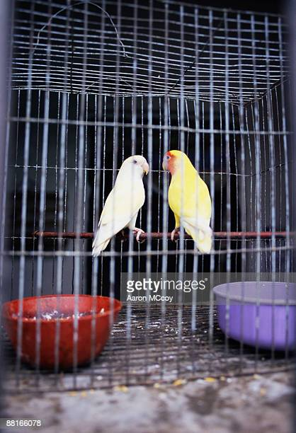 'Two parakeets in cage together, Havana, Cuba'