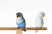 Two parrot lovebirds sitting on the perch on white background