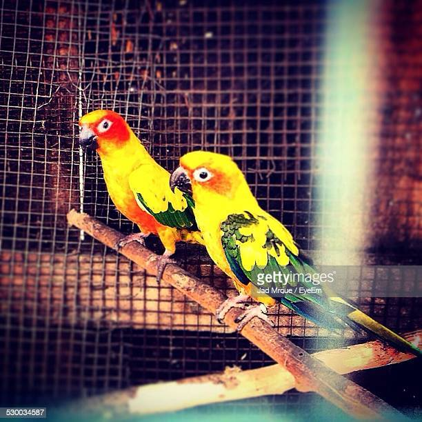 Two Parrots Perching In Cage