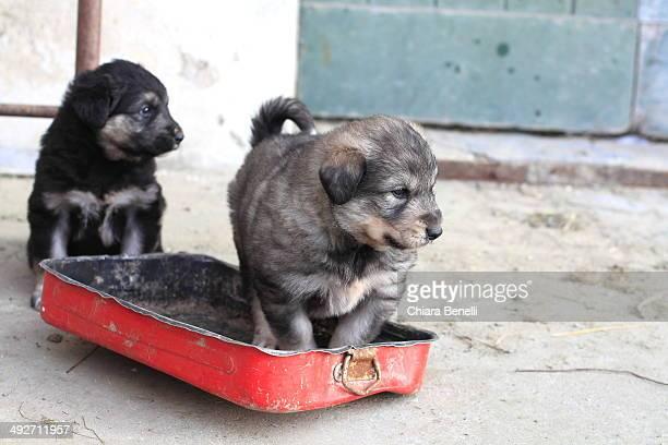 Two pastore del Caucaso puppies