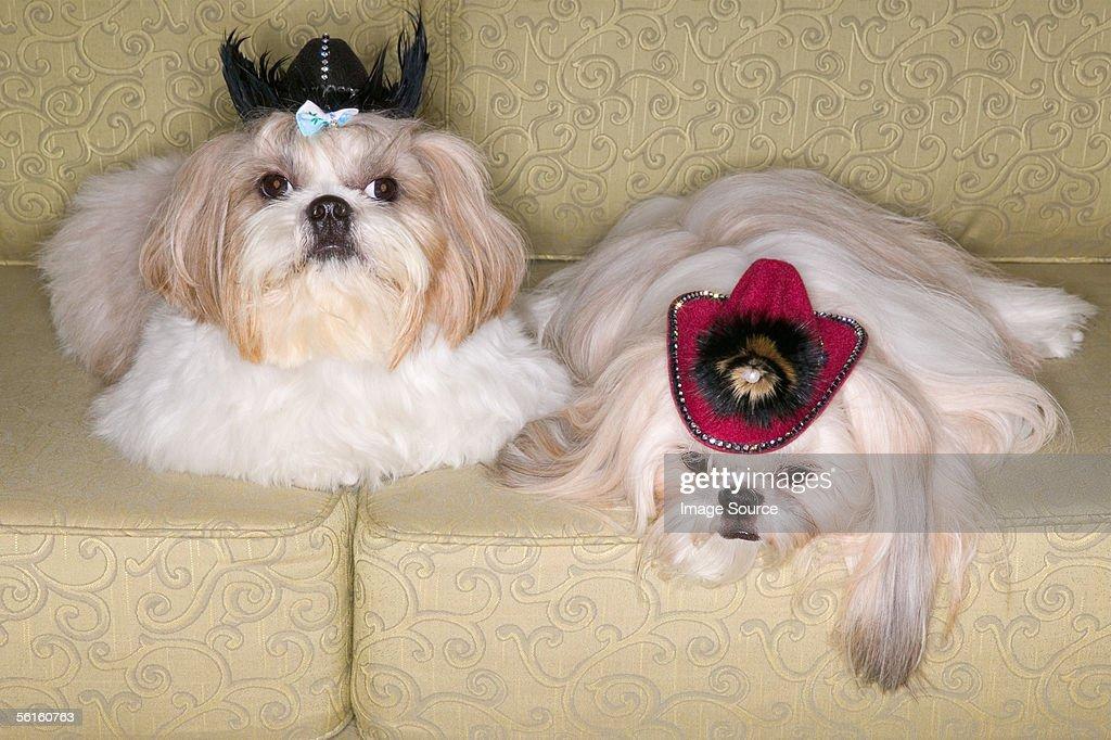 Two pekinese dogs on sofa : Stock Photo