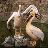 Two Pelican posing at the zoo