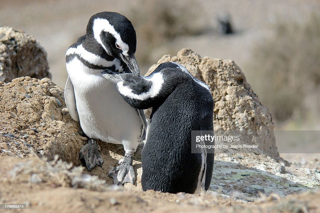 Two penguins grooming each other, Peninsula Valdes