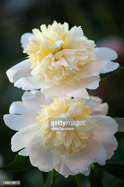 Two peony (Paeonia lactiflora) flowers in a garden