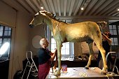 Two people restore Vizir the last horse of Napoleon Bonaparte the Ist at the Museum of the Army Musee de l' Armee at the Hotel des Invalides in Paris...