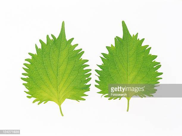 Two Perilla Leaves, Next to Each Other, High Angle View