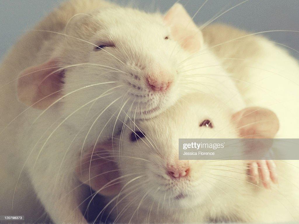 Two pet rats hugging