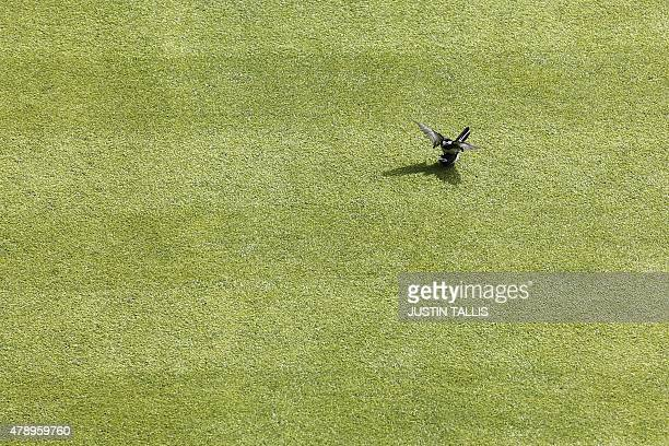 Two pied wagtail birds are seen on the grass of a court on day one of the 2015 Wimbledon Championships at The All England Tennis Club in Wimbledon...