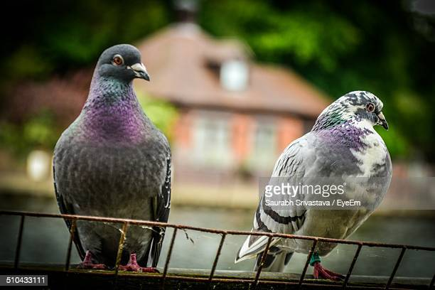 Two pigeons against blurred background