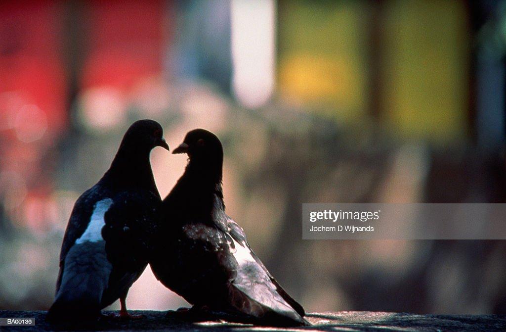 Two pigeons, beaks touching : Stock Photo
