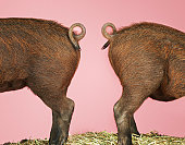 Two Piglets' Backsides